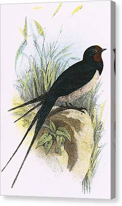 Chimney Swallow Canvas Print by English School