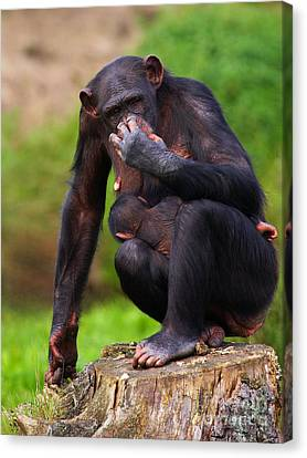 Chimp With A Baby On Her Belly  Canvas Print
