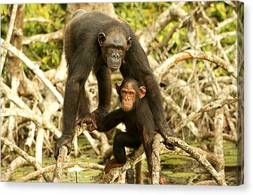 Chimpanzee Adult With Young Canvas Print