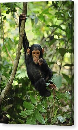 Chimpanzee Baby On Liana Gombe Stream Canvas Print