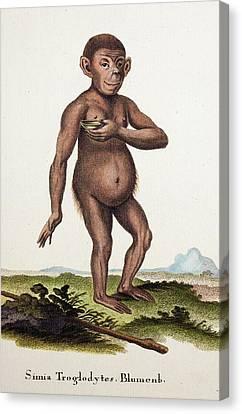 Chimpanzee (blumenbach) Canvas Print by Paul D Stewart