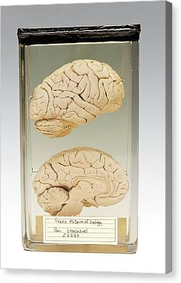 Chimpanzee Brain Canvas Print by Ucl, Grant Museum Of Zoology