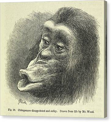 Chimpanzee Disappointed And Sulky Canvas Print by British Library