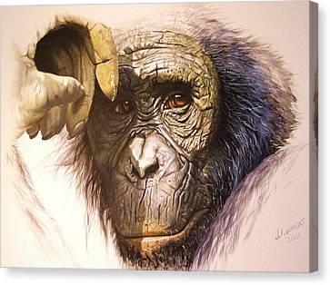 Chimpanzee Canvas Print by Julian Wheat