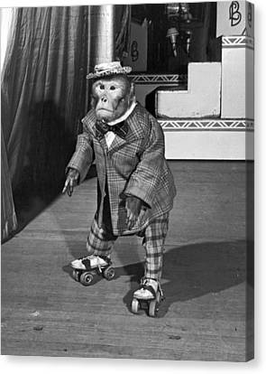Chimpanzee On Skates Canvas Print by Underwood Archives
