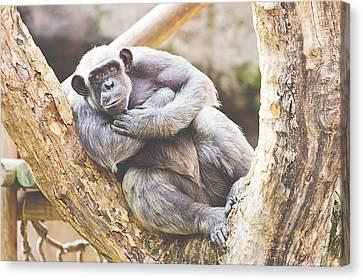Chimpanzee Canvas Print by Pati Photography