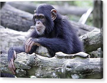 Chimpanzee Playing Canvas Print by Shoal Hollingsworth