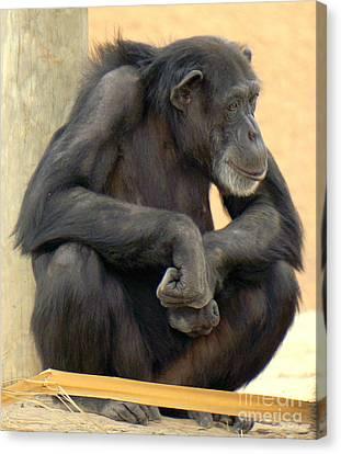 Chimpanzee Canvas Print by Rachel Munoz Striggow