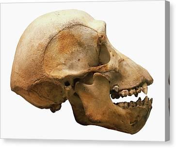 Chimpanzee Skull Canvas Print by Dorling Kindersley/uig