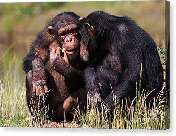 Canvas Print featuring the photograph Chimpanzees Eating A Carrot by Nick  Biemans