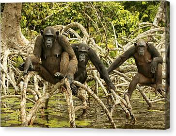 Chimpanzees On Mangroves Canvas Print