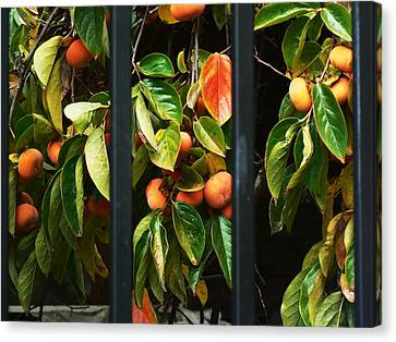 Chinatown Persimmons Canvas Print by Pamela Patch