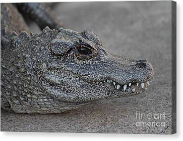 Chinese Alligator Canvas Print by Ruth Jolly