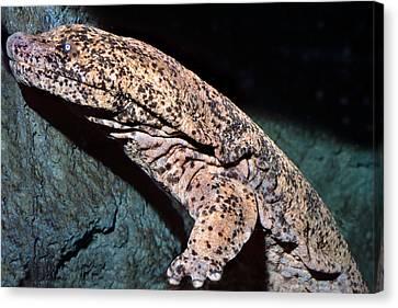 Chinese Giant Salamander Canvas Print by Wernher Krutein