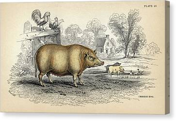 Chinese Hog Canvas Print by Natural History Museum, London