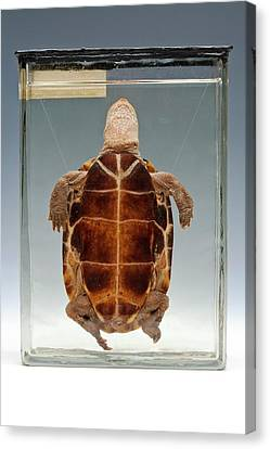 Chinese Pond Turtle Canvas Print by Ucl, Grant Museum Of Zoology