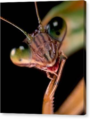 Canibal Canvas Print - Chinese Praying Mantis Macro Closeup Portrait #10 by Leslie Crotty