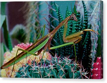 Canibal Canvas Print - Chinese Praying Mantis Taking A Walk On A Cactus Plant Very Carefully by Leslie Crotty