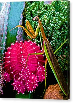 Canibal Canvas Print - Chinese  Praying Mantis Walking Very Carefully On A Cactus Plant by Leslie Crotty