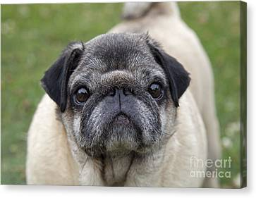 Chinese Pug Dog Canvas Print by Mark Boulton