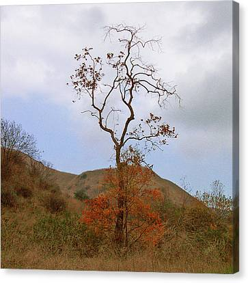 Chino Hills Tree Canvas Print by Ben and Raisa Gertsberg