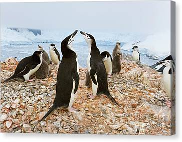 Chinstrap Penguin Colony Spigot Point Canvas Print