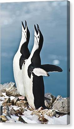Chinstrap Penguin Courting Display Canvas Print by Science Photo Library