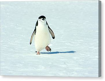 Chinstrap Penguin Running Canvas Print by Amanda Stadther