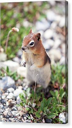 Chipmunk In The Canadian Rockies Canvas Print by Ashley Cooper