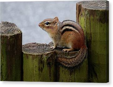 Chipmunk Canvas Print by Kathy Gibbons
