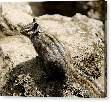Canvas Print featuring the photograph Chipmunk On A Rock by Belinda Greb