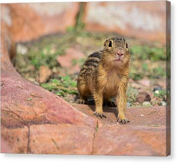 Chipmunk Canvas Print by Robin Williams