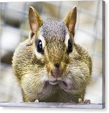 Canvas Print featuring the photograph Chipmunk With It's Mouth Full Bong by Ricky L Jones