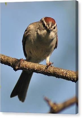 Chipping Sparrow 265 Canvas Print