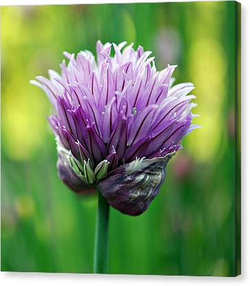 Chive Blossom Canvas Print