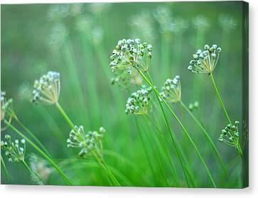 Canvas Print featuring the photograph Chive Garden by Suzanne Powers
