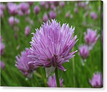 Canvas Print featuring the photograph Chive by Gene Cyr