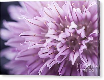 Chives Flower Canvas Print