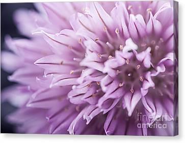 Flowering Canvas Print - Chives Flower by Elena Elisseeva