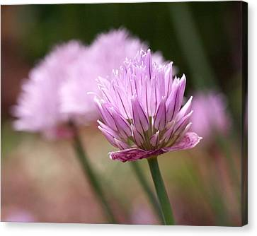 Alliums Canvas Print - Chives by Rona Black