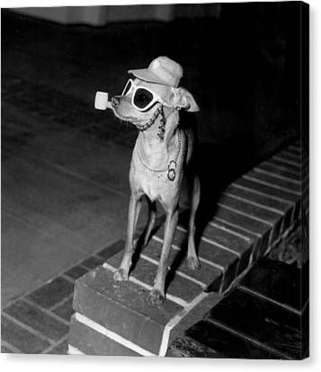 Chiwawa With A Pipe Canvas Print by Retro Images Archive