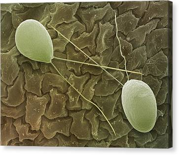 Chlamydomonas Sp. Algae, Sem Canvas Print by Power And Syred
