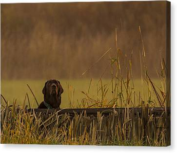 Chocolate Lab Hunting Ducks Canvas Print by Jean Noren