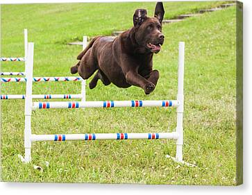 Agility Canvas Print - Chocolate Lab Jumping Agility Jump by Piperanne Worcester