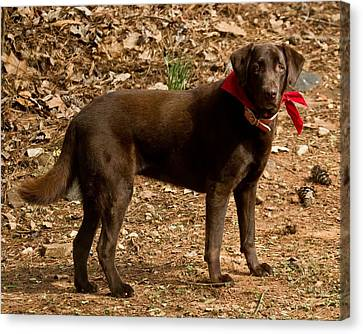 Canvas Print featuring the photograph Chocolate Lab by Robert L Jackson