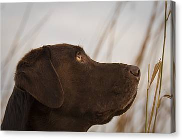 Chocolate Lab Watching The Sky Canvas Print by Jean Noren
