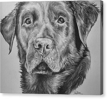 Chocolate Labrador Canvas Print by Danielle  Pellicci
