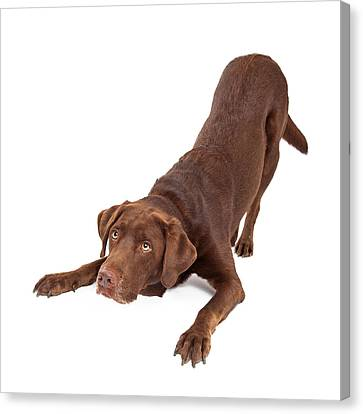 Chocolate Labrador Dog Bowing And Looking Up Canvas Print by Susan Schmitz