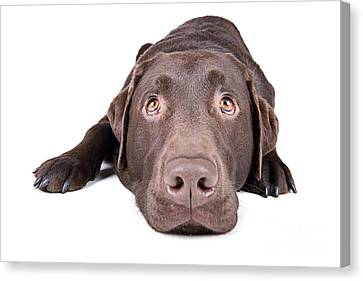 Chocolate Labrador Lying Down Canvas Print by Justin Paget