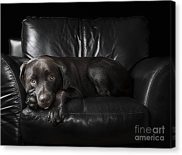 Chocolate Labrador On Armchair Canvas Print by Justin Paget